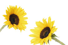 Two Beautiful Blossoms Of Yellow Sunflowers