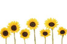 7 Yellow Sunflower On White Background
