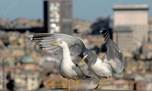 Fotografie, Obraz  pair of urban gulls