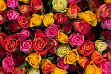Flowers. Colorful Roses Backgr...