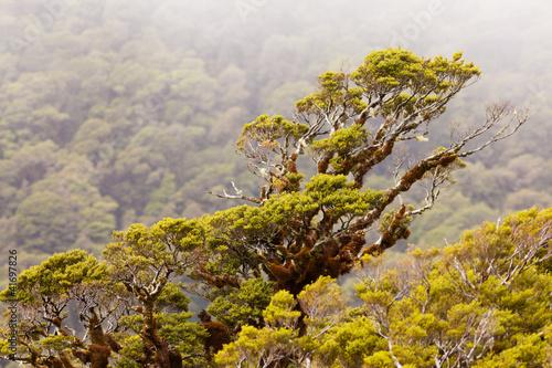 gorski-las-deszczowy-buk-w-fjordland-np-nz
