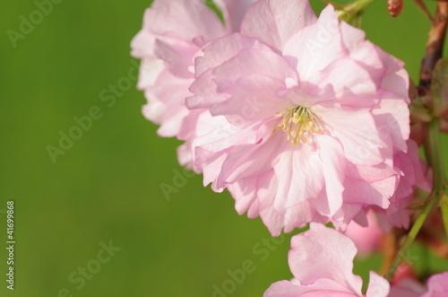 Obraz na plátně 八重桜の花弁