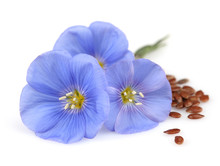 Flowers Of Flax With Seeds