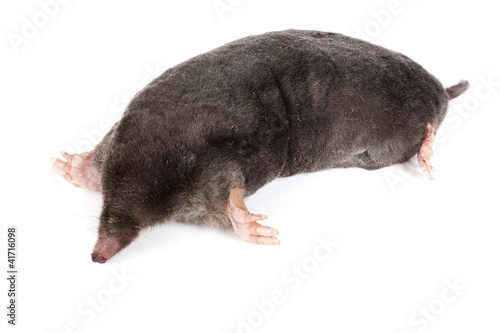 Fotografie, Obraz  The European mole on a white background, separately
