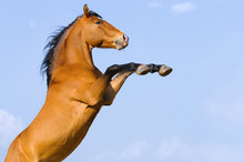 Bay Horse Rearing Up On The Sky Background