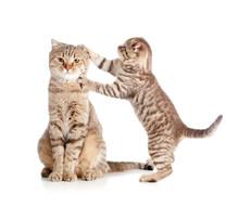 Little Tabby Kitten Scottish Touching Mother Cat