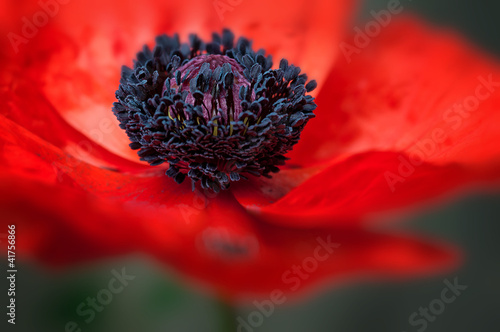 Foto op Canvas Poppy Poppy Macro