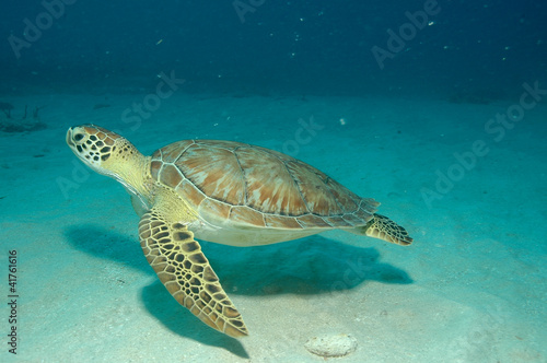 Poster Tortue sxm7-0956