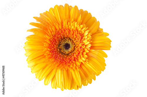 gerbera flor buy this stock photo and explore similar images at
