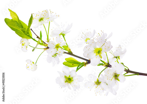 spring cherry tree white flowers branch