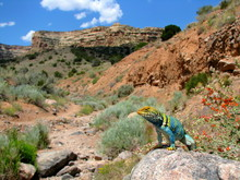 Collared Lizard Colorado