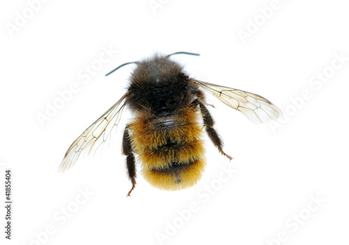 bumblebee Fotobehang