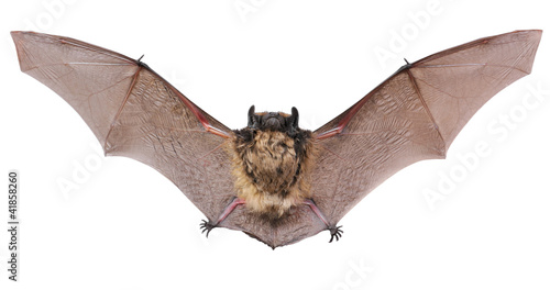 Animal little brown bat flying. Isolated on white. Canvas Print