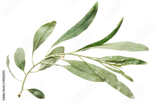 Fotomural Green leaf willow isolated on white background