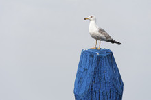 Scout Seagull