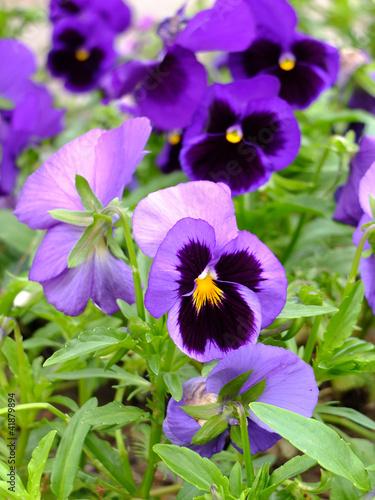 Papiers peints Pansies Bouquet of beautiful violets in the garden