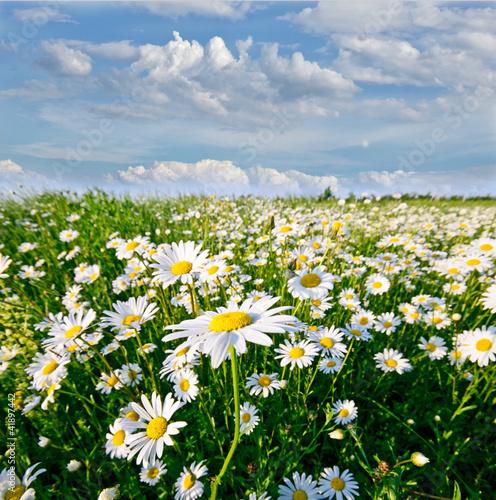 Naklejka premium Springtime: pole kwiatów daisy z błękitne niebo i chmury