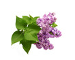 Isolated on a white background of a branch of a lilac with leave