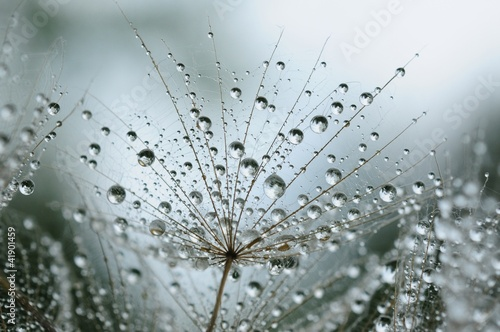 Poster Paardebloemen en water dandelion seeds with drops