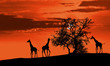 canvas print picture - Giraffes at sunset
