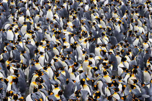 Poster Pingouin King penguin colony.