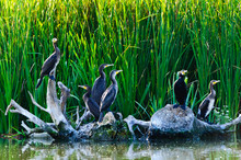 Cormorants In The Danube Delta