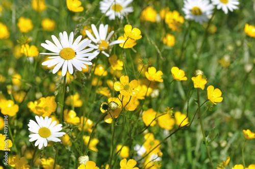 Papiers peints Marguerites prairie fleurie