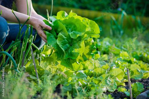Obraz picking vegetables - fototapety do salonu
