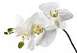 Biały storczyk