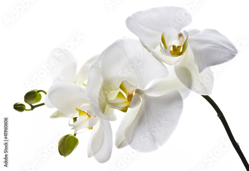 Biały storczyk - 41960606