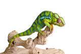 Fototapeta Animals - Colorful chameleon (5)