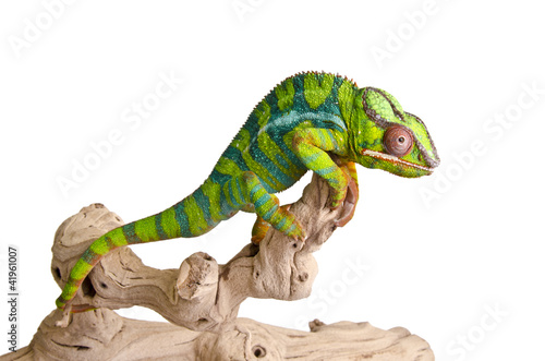 Photo sur Aluminium Cameleon Colorful chameleon (5)