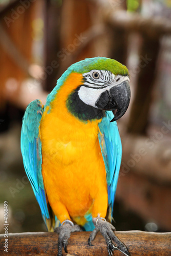 Fototapety, obrazy: The potrait of Blue & Gold Macaw