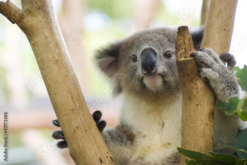 Koala in Tree at Taronga Zoo, Sydney, Australia