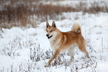Running West Siberian Laika In...