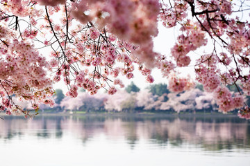 Panel Szklany Natura Cherry Blossoms over Tidal Basin in Washington DC