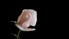 Rosa Su Fondo Nero