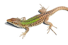Close Up Of A Lizard