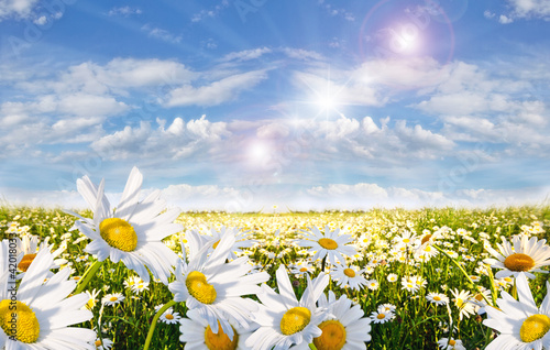 Tuinposter Zwavel geel Springtime: field of daisy flowers with blue sky and clouds