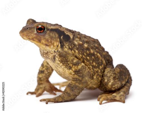 Foto op Plexiglas Kikker Common toad, Bufo bufo, against white background