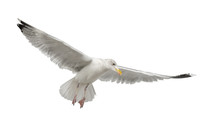 European Herring Gull, Larus A...