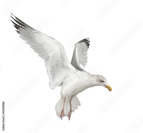 European Herring Gull, Larus argentatus, 4 years old, flying Wall mural