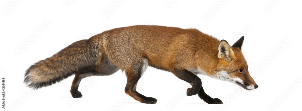 Fototapety, obrazy: Red fox, Vulpes vulpes, 4 years old