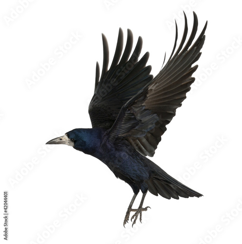 Ingelijste posters Vogel Rook, Corvus frugilegus, 3 years old, flying