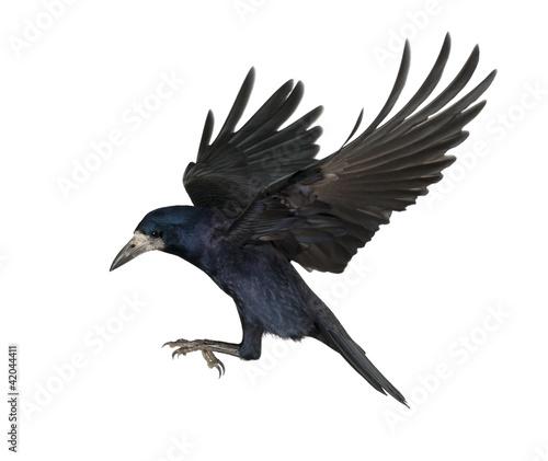 Slika na platnu Rook, Corvus frugilegus, 3 years old, flying