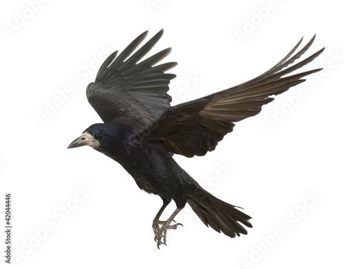Slika na platnu Rook, Corvus frugilegus, 3 years old