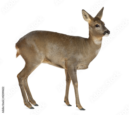 European Roe Deer, Capreolus capreolus, 3 years old Wallpaper Mural