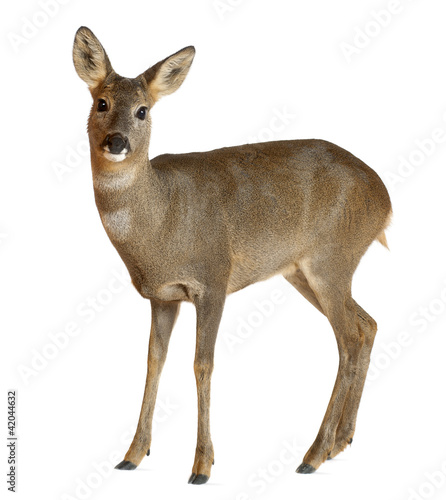 In de dag Hert European Roe Deer, Capreolus capreolus, 3 years old