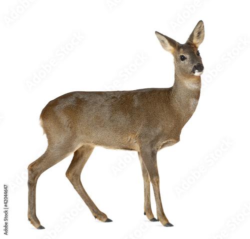 Foto op Aluminium Ree European Roe Deer, Capreolus capreolus, 3 years old