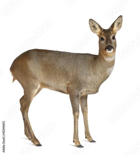 Deurstickers Ree European Roe Deer, Capreolus capreolus, 3 years old, standing